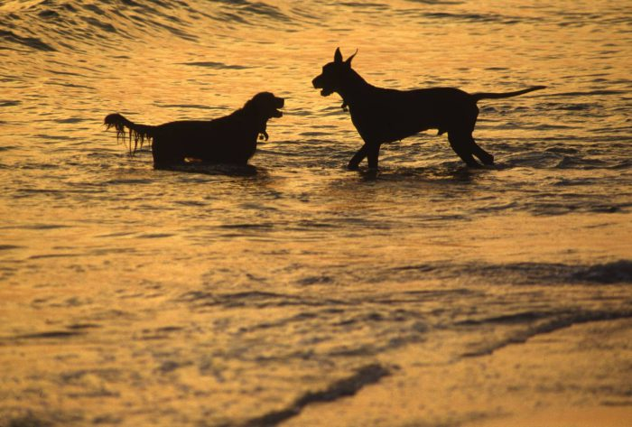 Photo: Two dogs play in the water along the Gulf Coast.