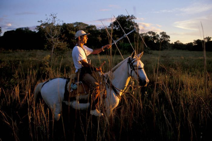 Photo: A biologist uses radio telemetry to track animals at the SESC reserved in Brazil's Pantanal.