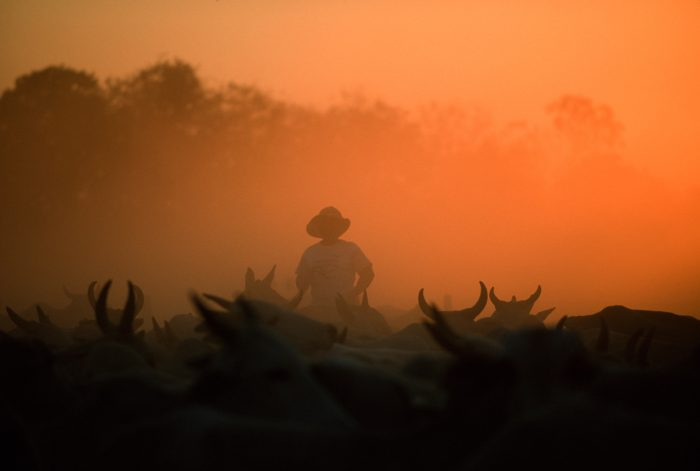 Photo: A pantaniero (cowboy) herds cattle during the dry season at Caiman Ranch in Brazil's Pantanal.