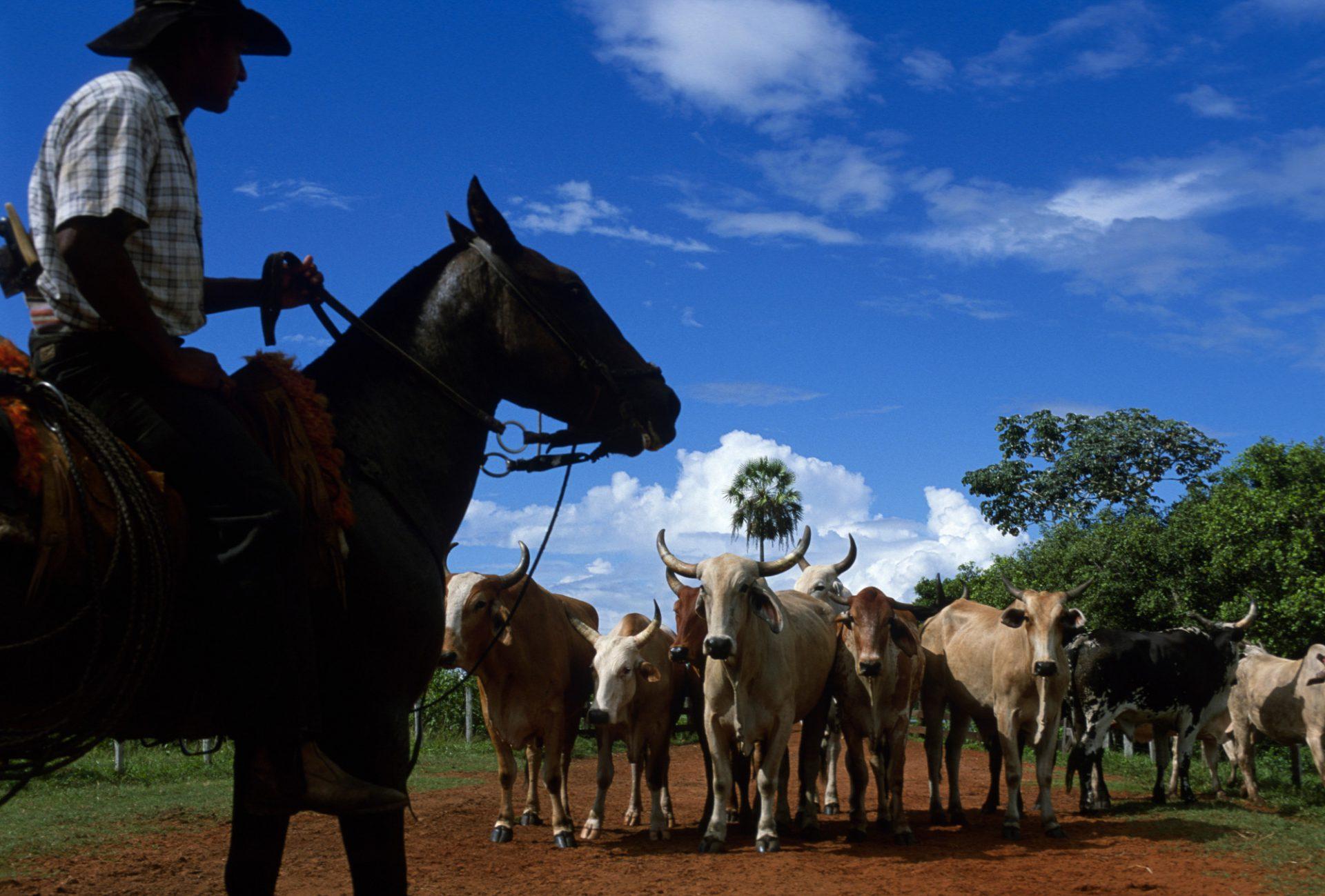 Photo: A pantaniero (cowboy) herds cattle on horseback at Caiman Ranch in Brazil's Pantanal region.