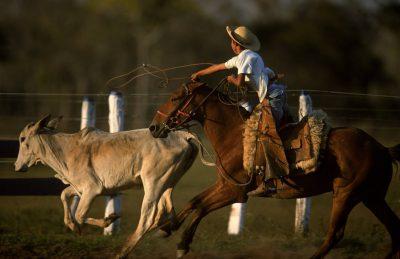 Photo: A pantaniero (cowboy) ropes cattle on horseback at Caiman Ranch in Brazil's Pantanal region.