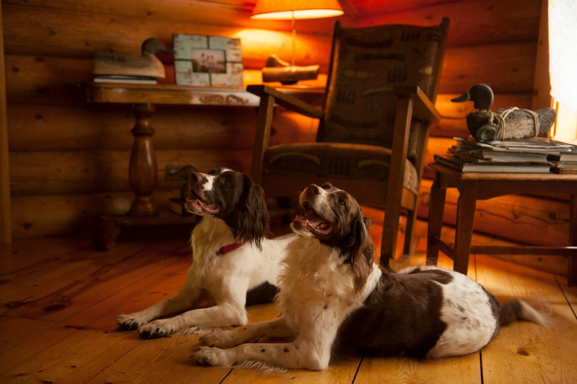 Photo: Two English springer spaniels rest in a cabin.