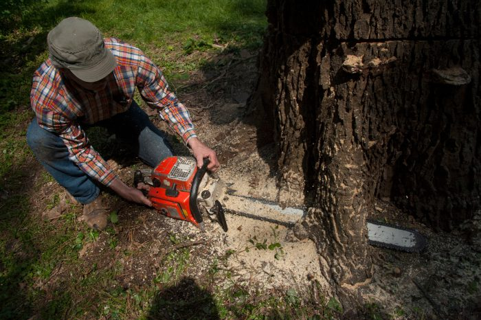 Photo: A man uses a chainsaw to cut down a tree.