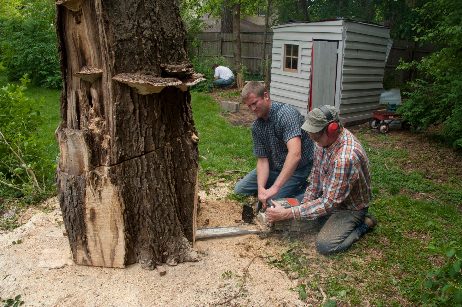 Photo: Two men uses a chainsaw to cut down a tree.