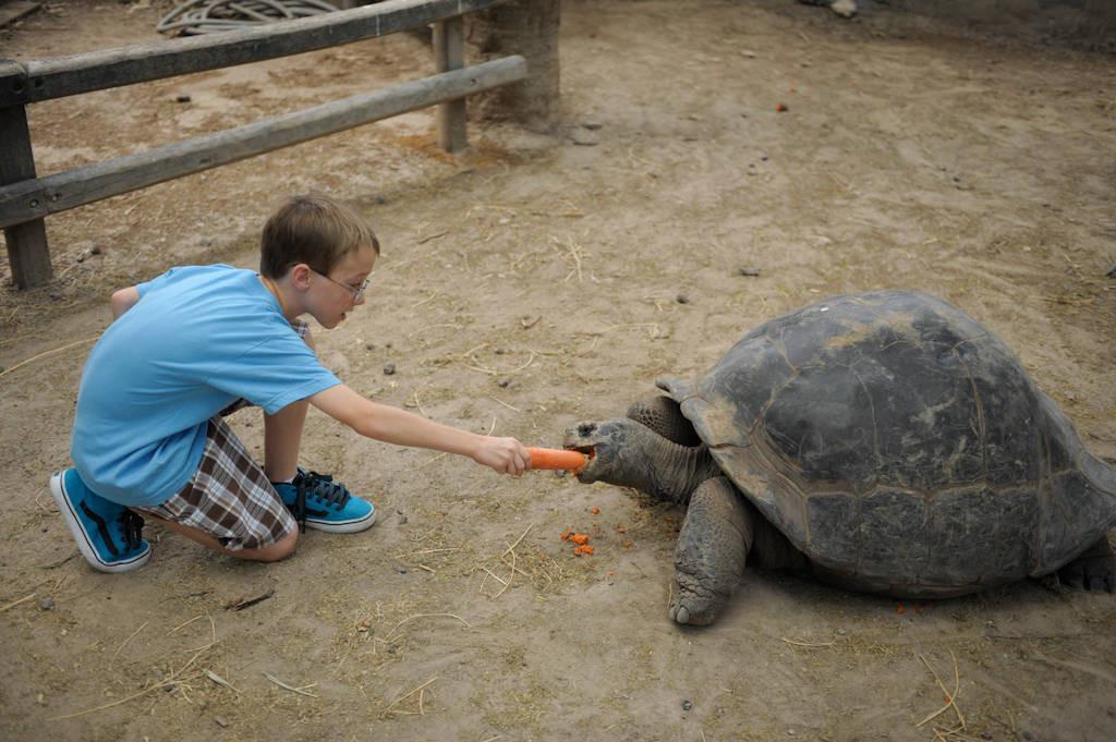 A marginated tortoise (Testudo marginata) at the Gladys Porter Zoo in Brownsville, Texas.