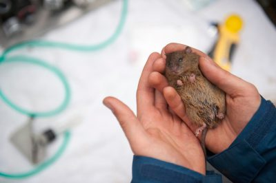A brown rat (Rattus norvegicus) trapped by a research team studying rodents for a movement tracking study in Queensland, Australia.