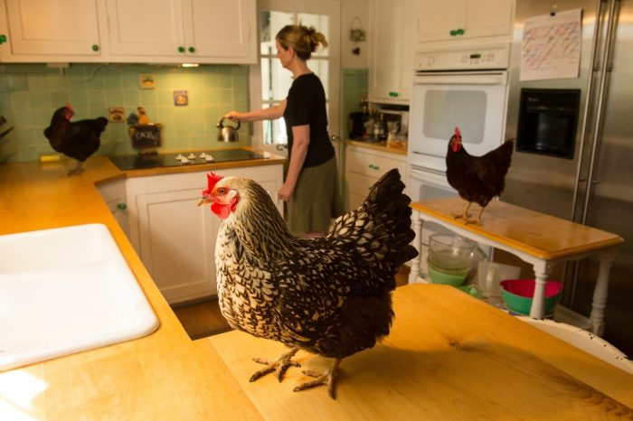Photo: Chickens stand on a woman's kitchen counters.