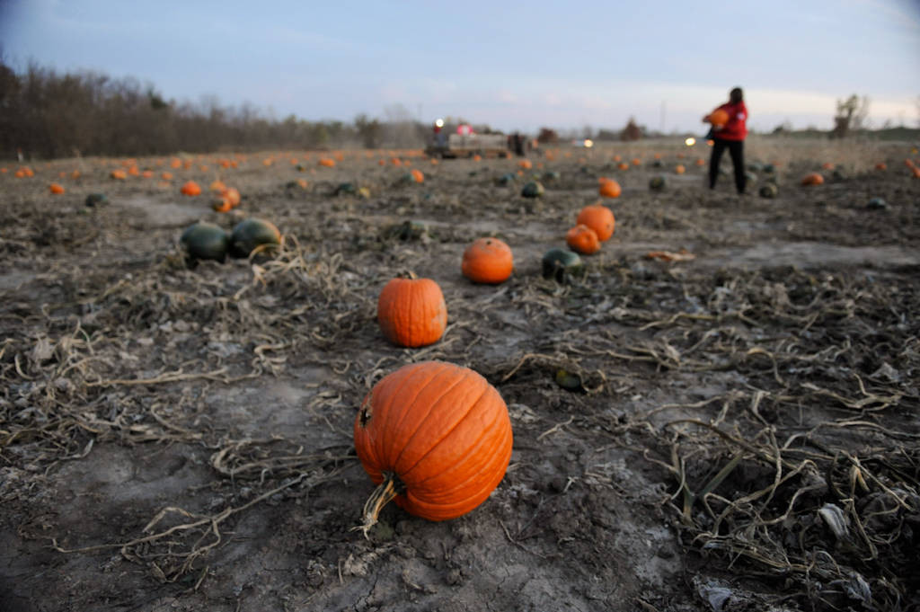 Photo: Pumpkins scattered through out a pumpkin patch at Roca Berry farms in Roca, NE.