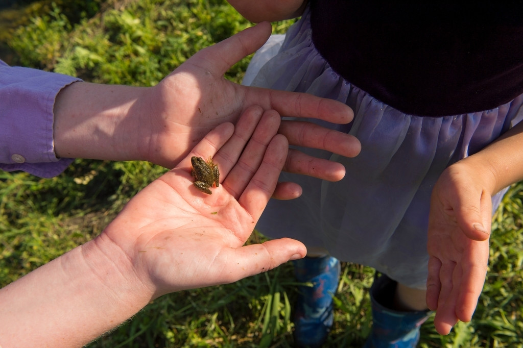Photo: A woman holds a Blanchard's cricket frog (Acris crepitans blanchardi) at a pond in Valparaiso, Nebraska.