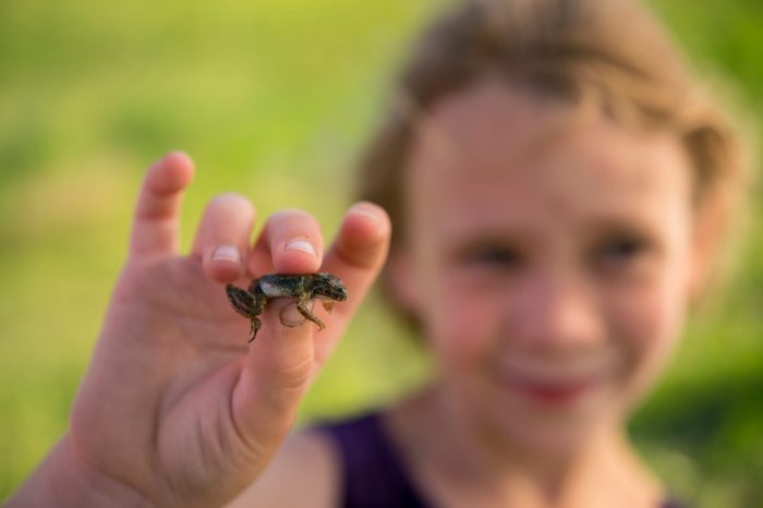 Photo: A young girl holds a Blanchard's cricket frog (Acris crepitans blanchardi) at a pond in Valparaiso, Nebraska.