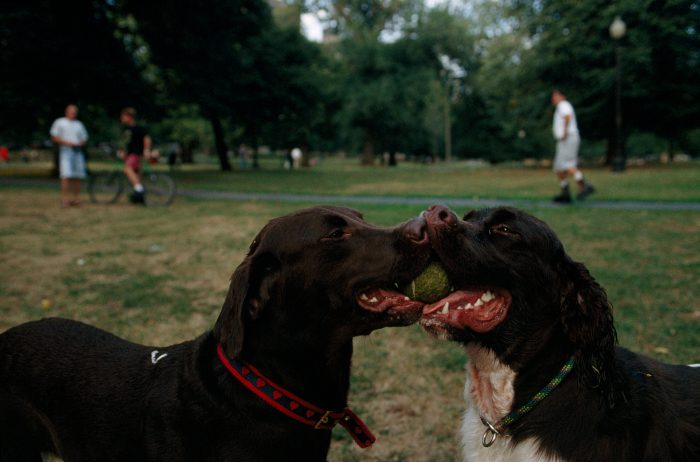 Photo: Two pet dogs mouth the same ball in Boston Common, the oldest public park in American history, in Massachusetts.
