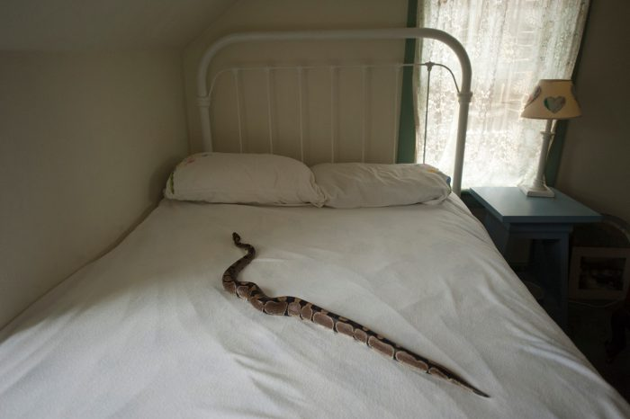 Photo: A ball python in a bed in Lincoln, Nebraska.
