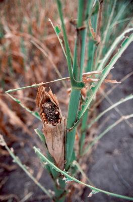 Photo: Already drought-stricken corn was ravaged by grasshoppers near Bennett, NE. (2002)
