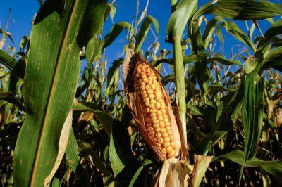 Photo: A corn field near harvest time in Bennet, Nebraska.
