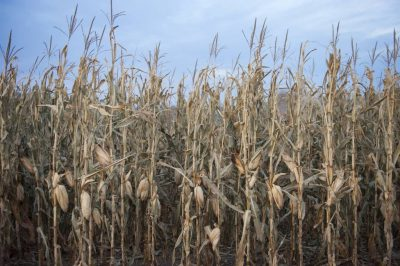 Photo: Corn ready to be reaped.