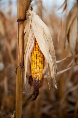 Photo: Corn awaiting harvest, near Lincoln.