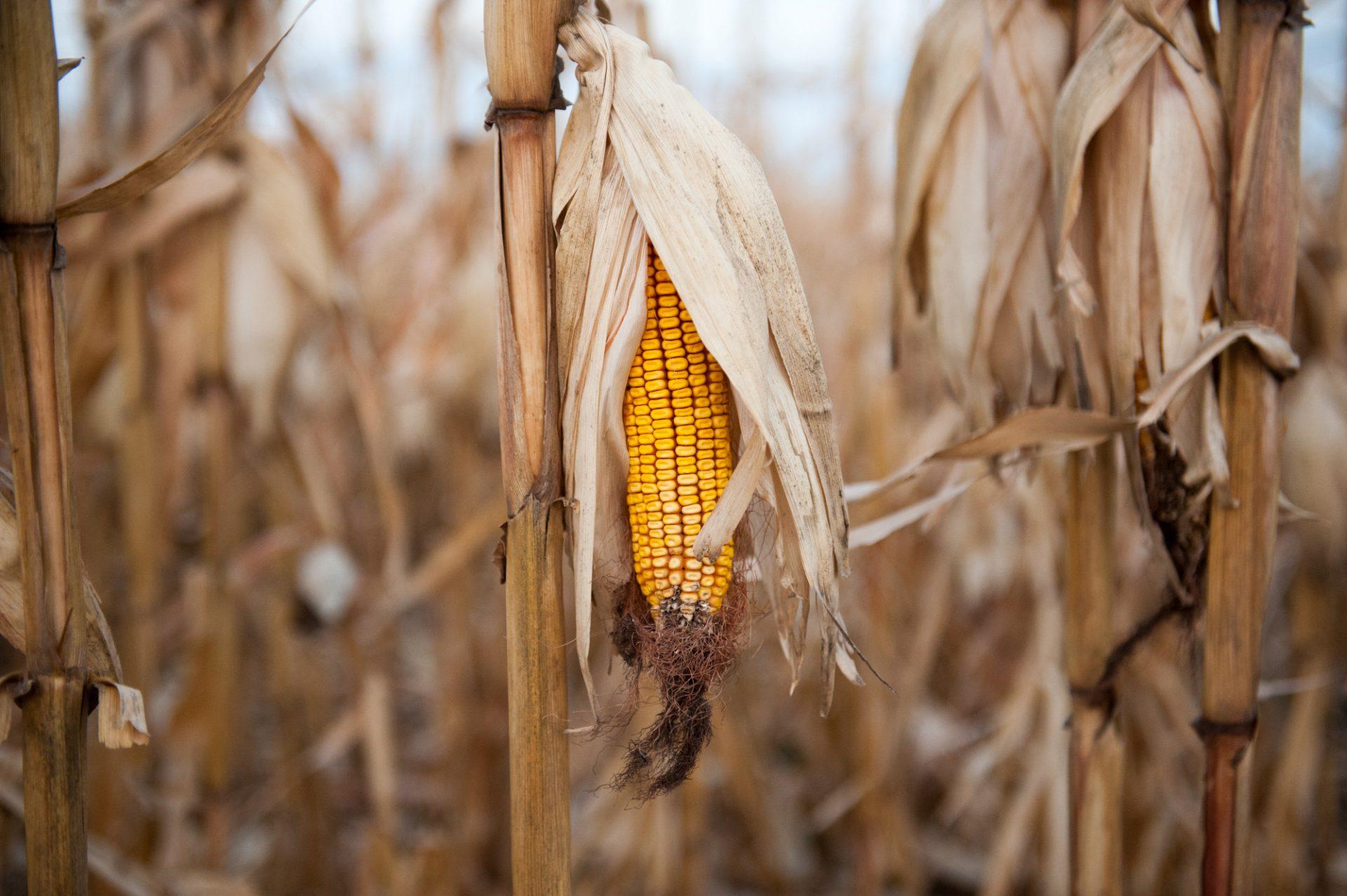 Photo: Corn awaiting harvest, near Lincoln.