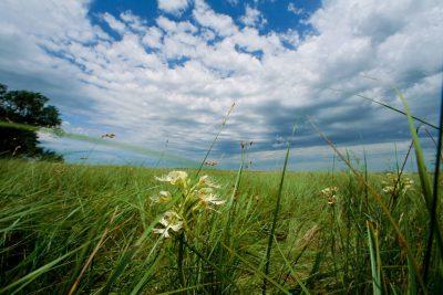 Photo: The Western prairie fringed orchid, a threatened plant species in the Nebraska Sandhills.