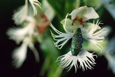 Photo: The Western prairie fringed orchid, a threatened plant species in the Nebraska Sandhills.