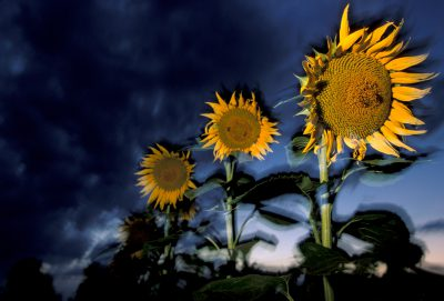 Photo: Sunflowers glow in pre-storm light in Kansas.