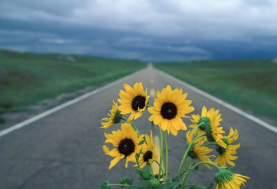 Photo: Sunflowers on a highway in Nebraska's Sandhills.