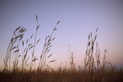 Photo: Big bluestem prairie grass in Nebraska.