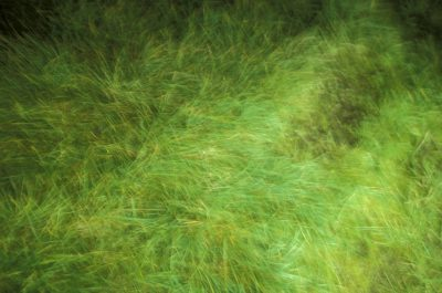 Photo: Wind-blown grass on St. Paul Island in the Pribilofs (Alaska.)