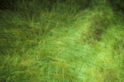 Photo: Wind-blown grass on St. Paul Island in the Pribilofs (Alaska.)