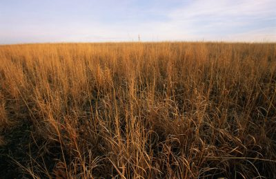 Photo: Tall prairie grass in Nebraska.