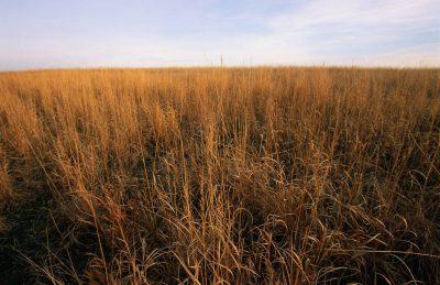Photo: Tall prairie grass in Nebraska.