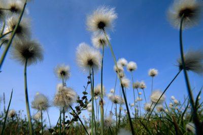 Photo: Cotton grass near Toolik, Alaska.