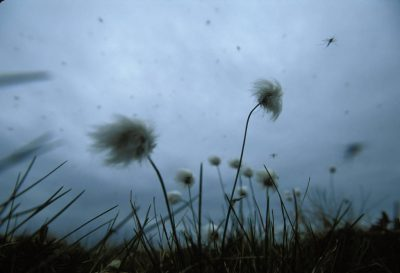 Photo: Cotton grass blows in the wind in Alaska's North Slope.
