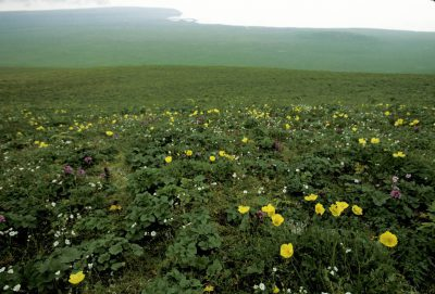 Photo: Wildflowers on St. George Island in the Pribilofs (Alaska).