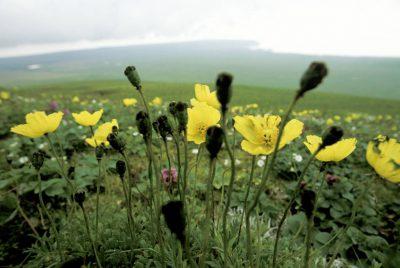 Photo: Wildflowers on St. George Island in the Pribilofs (Alaska).