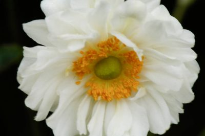 Photo: Whirlwind or Japanese hybrid anemone (Anemone x hybrida) at the Maxwell Arboretum in Lincoln, Nebraska.