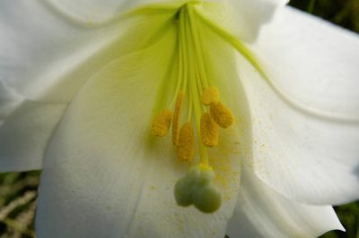 Photo: Pollen and stamen inside a lily.