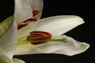 Photo: A daylily (Hemerocallis).