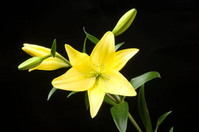 Photo: A yellow lily (Lilium canadense).