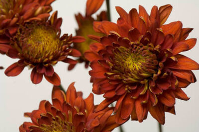 Photo: A chrysanthemum flower (Chrysanthemum morifolium).