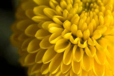 Photo: Button chrysanthemum (Chrysanthemum morifolium).