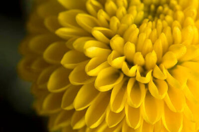 Photo: Button chrysanthemum (Chrysanthemum morifolium).