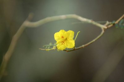 Photo: The flower of a creosote bush (Larrea tridentata) inside the Desert Dome at the Omaha Zoo.