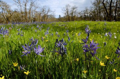 Photo: Common camas (Camassia quamash) from the Cowichan Garry Oak Preserve, an extremely rare type of forest in Canada.