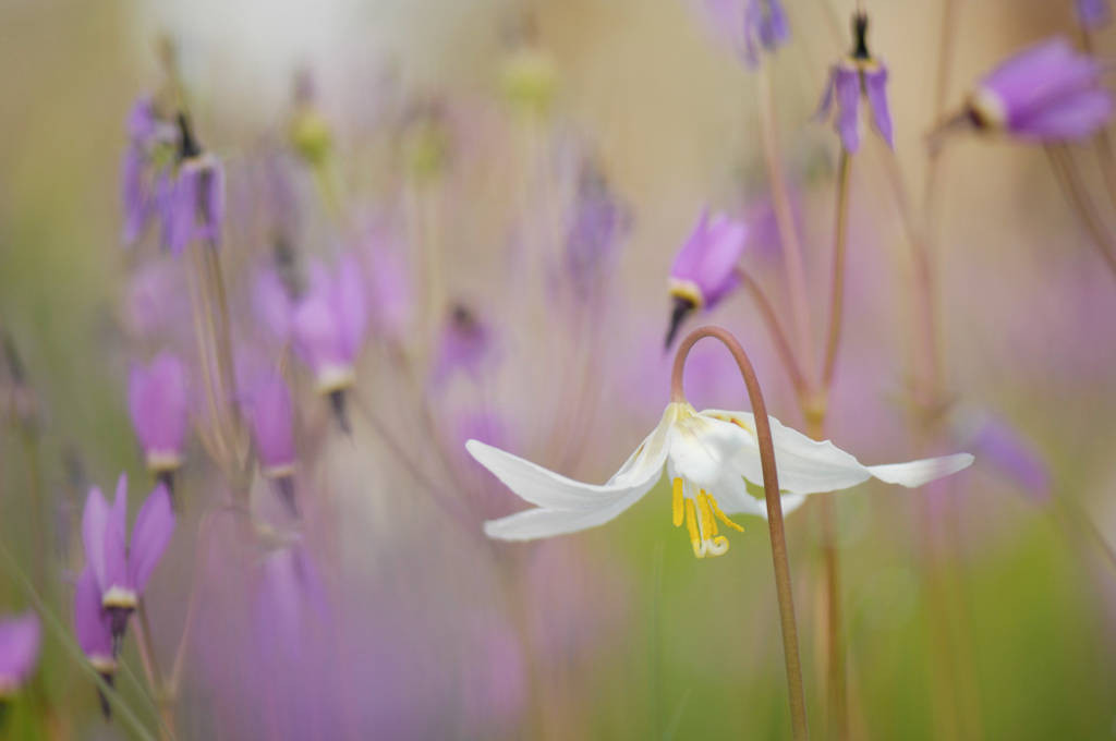 Photo: Broad-leaved shooting stars (Dodecatheon hendersonii) and white fawn lilies (Erythronium oregonum) from the Cowichan Garry Oak Preserve, an extremely rare type of forest in Canada.