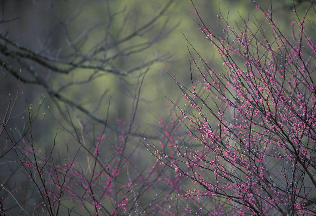 Photo: A redbud tree in bloom in Bloomington, Indiana.