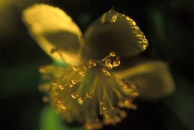 Photo: Edison St. John's Wort (Hypericum edisonianum) at Archbold Biological Research Station in central Florida.