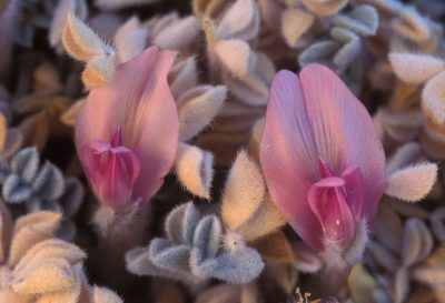 Photo: Close-up of the Ash Meadows milk vetch, a threatened species.