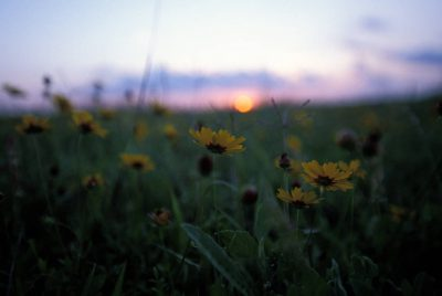 Photo: Yellow coreopsis flowers at dawn at the Attwater's Prairie Chicken National Wildlife Refuge near Eagle Lake, Texas.