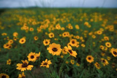 Photo: Yellow coreopsis flowers at the Attwater's Prairie Chicken National Wildlife Refuge near Eagle Lake, Texas.