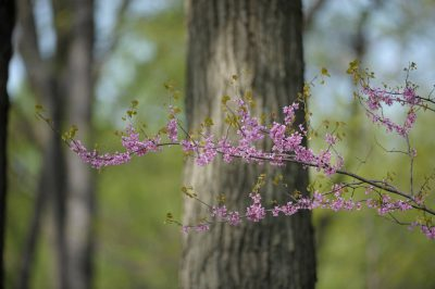 Photo: A redbud tree (Cercis canadensis) in bloom in Centralia, IL.